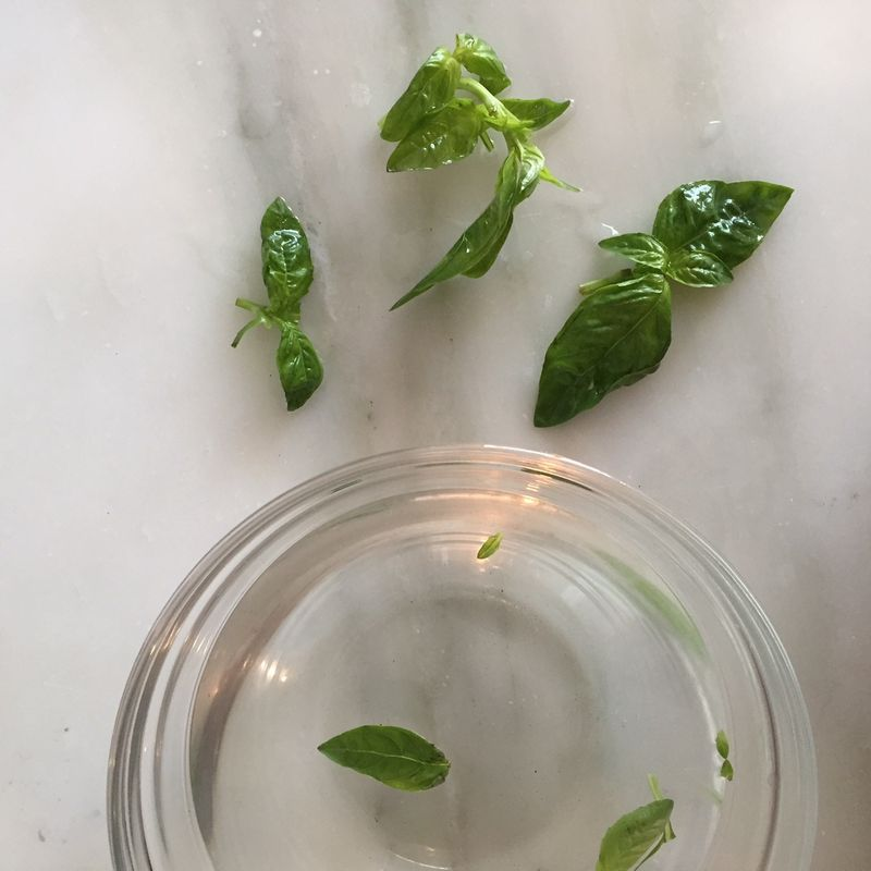 basil out of water