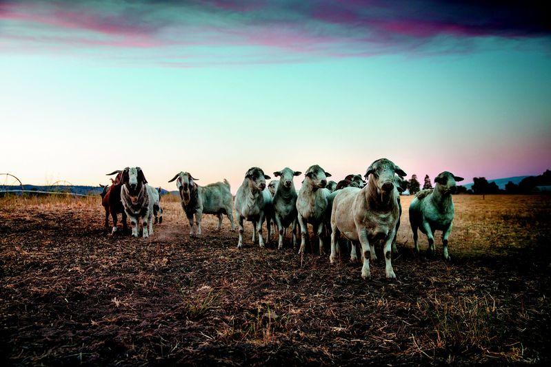 Gorgeous goats.