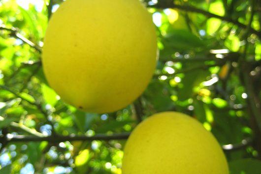 Meyer Lemon Shandy