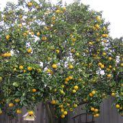 74171f87 0a9b 4acb 86d7 b2cfbebc4855  orange tree cropped