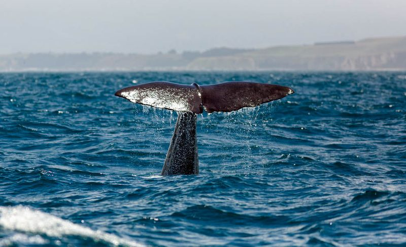 A Sperm whale tail in Canterbury, New Zealand