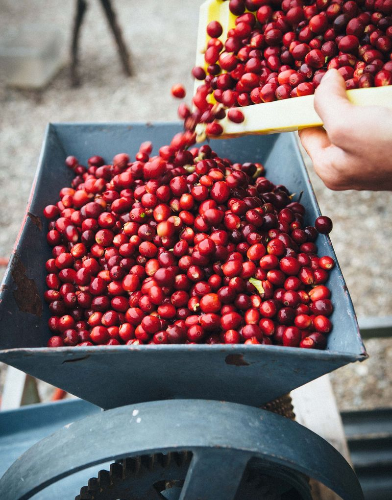 Coffee cherries heading into a pulping machine.