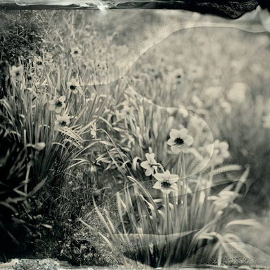 Daffodils, by Monika Fabijanczyk