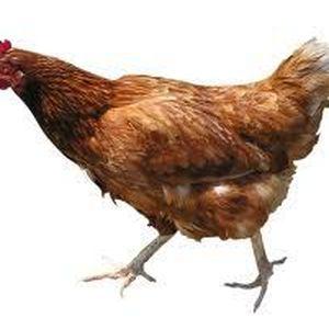 chickenista