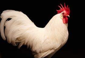 5f68a3ac f4ca 4312 97e6 8c091e13379e  chicken people 1 hr