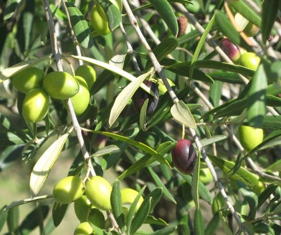 Olive groves in Puglia -- for the love of olive oil!