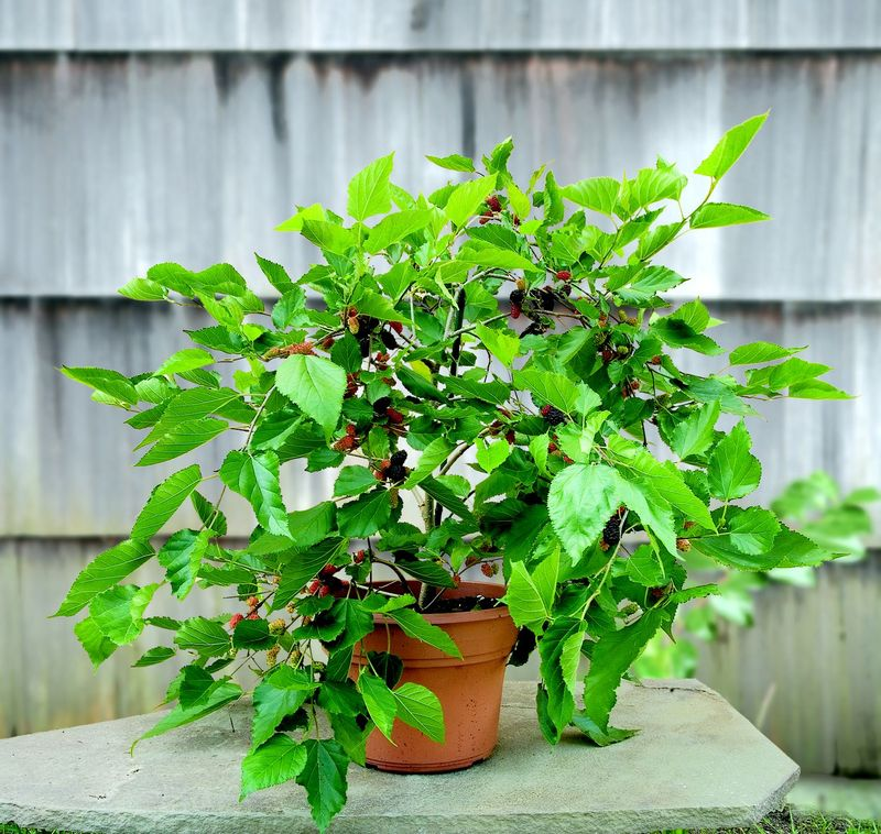 faafa5b2 1de3 4ea5 8c83 49c98141ebf3  3 Mulberry Morus Issai 1a 7 Types of Fruit Trees You Can Grow in Your Living Room