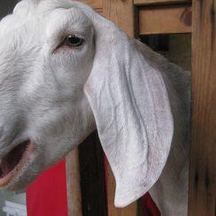 Goat Milk Béchamel