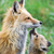 100dd41f-9204-457c-92f0-62ed372883a7.animals_fox_1