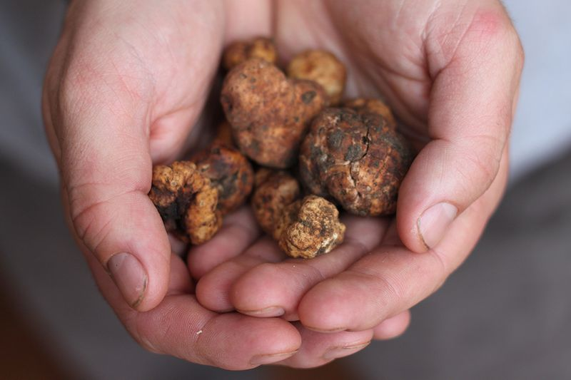 White truffles from the sagra del fianchetto in Tuscany.