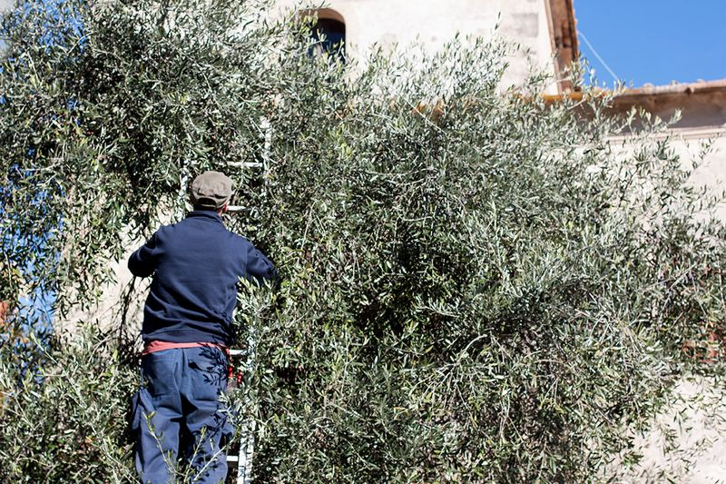 Olives being harvested in Tuscany