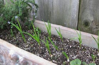 2676a776-0259-4d98-8e74-4487156f653a.ah_gongs_scallions_and_chives_feb_20101269494282