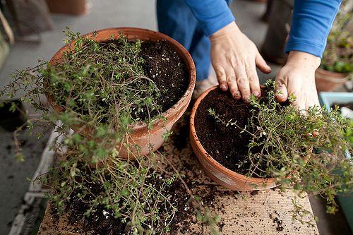 Sharing Is Caring Propagating Herbs